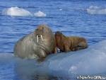 мать-моржиха