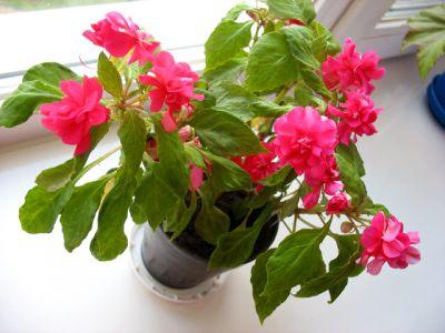 Ванька мокрый цветок фото как ухаживать