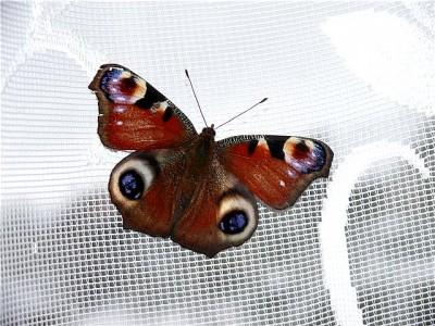 бабочка павлиний глаз примета