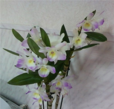 Орхидеи тропические незнакомки