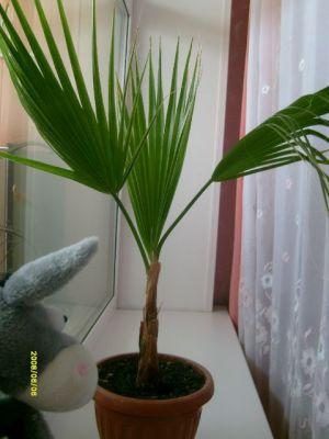 Это пальма вашингтония нитчатая
