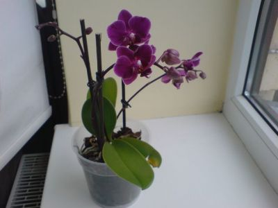 Комнатная орхидея уход в домашних условиях