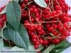 Уксус из красной смородины и вишневого листа